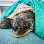 Oevaali sea turtle rescue Maldives