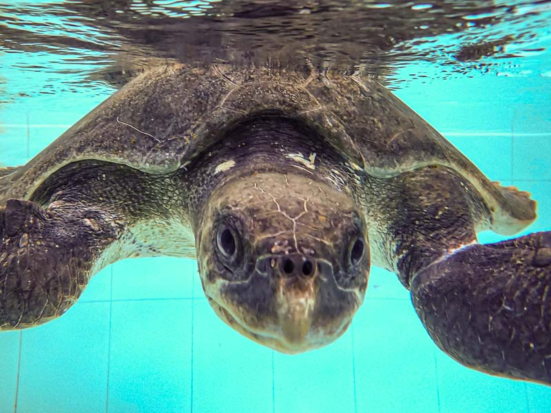 RAAI stranded male Olive Ridley turtle rescued Maldives