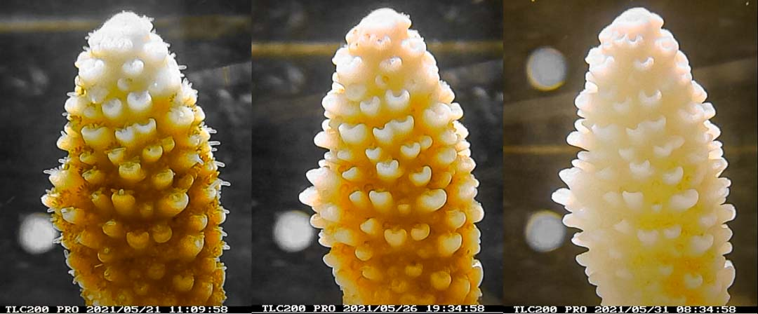 Reefscapers Acropora digitifera bleaching Maldives