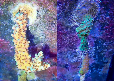 Reefscapers coral plate KH04