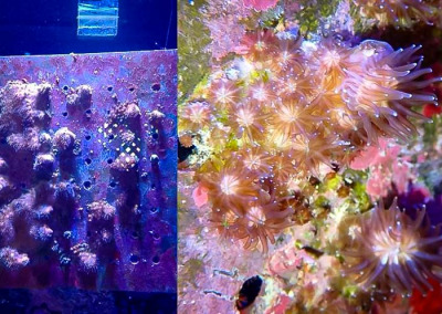 Reefscapers coral plate KH05 and closeup