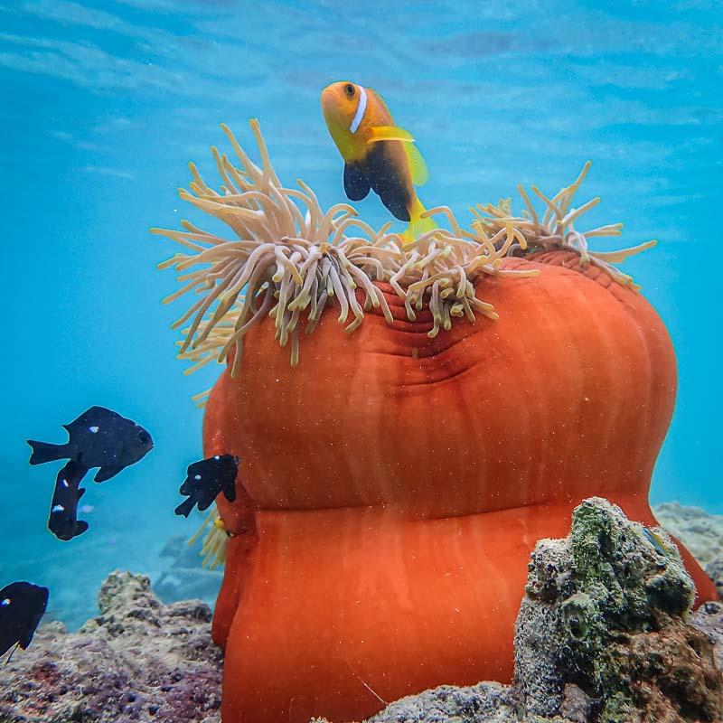 Ale coral biologist blog Maldives Maldivian clownfish and anemone