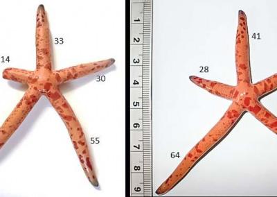 Aquarium-1 SS4 seastar growth Jan-July