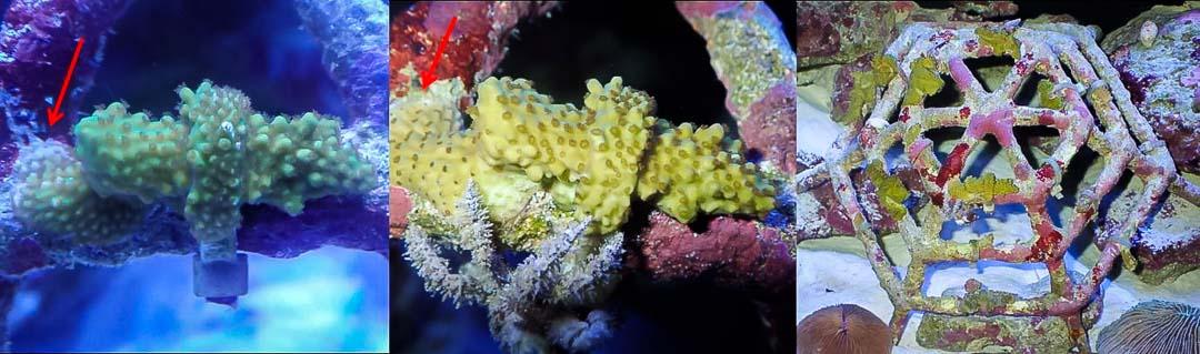Aquarium-2 mini coral frame growth