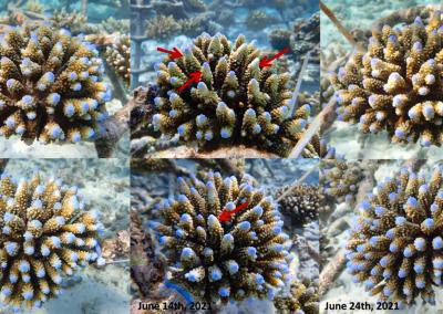 Coral rapid growth A.digitifera