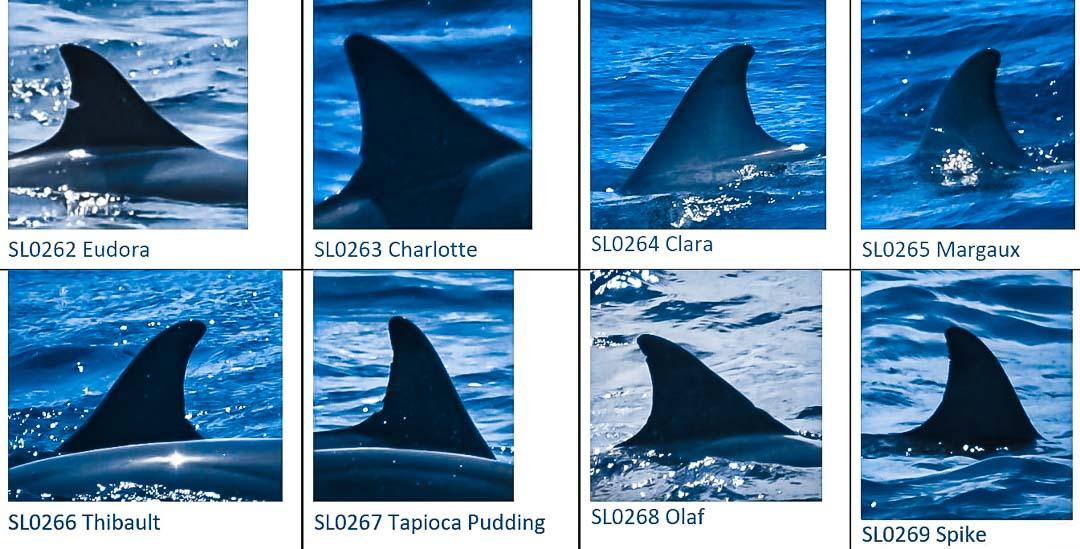 Dolphin identification Maldives July 2021