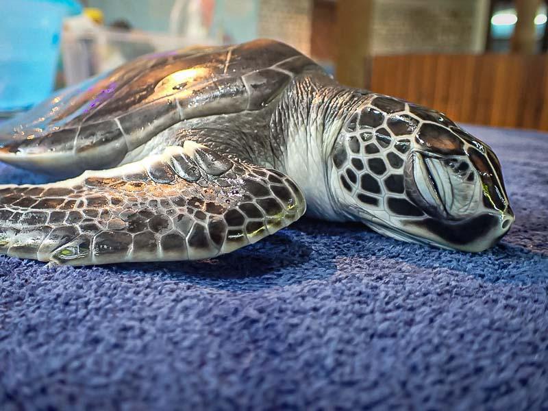 Green turtle juvenile 'Speedy' (CM.162) Maldives