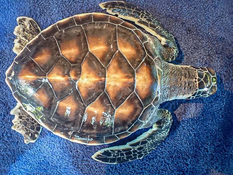 Green turtle juvenile 'Taz' (CM.164) Maldives