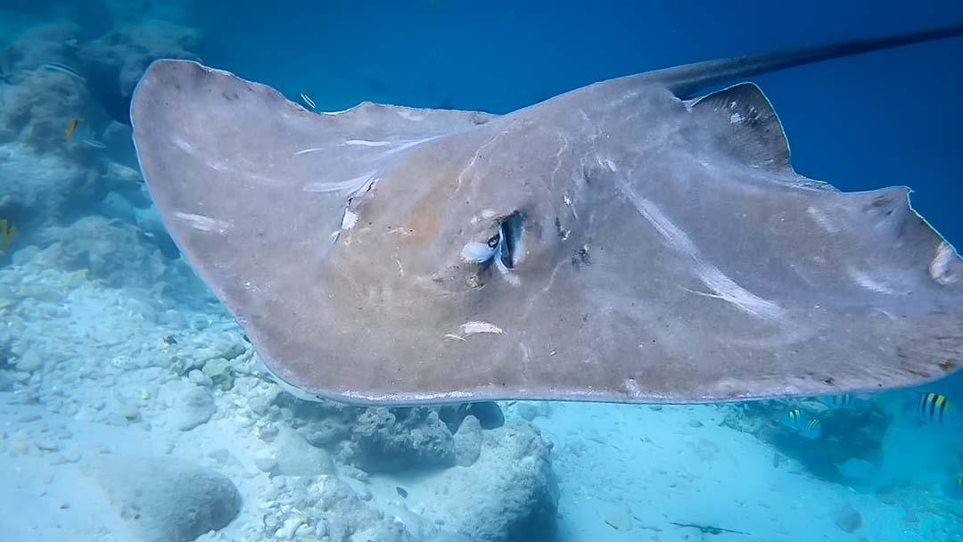Marine Savers Maldives life on the reef - ray