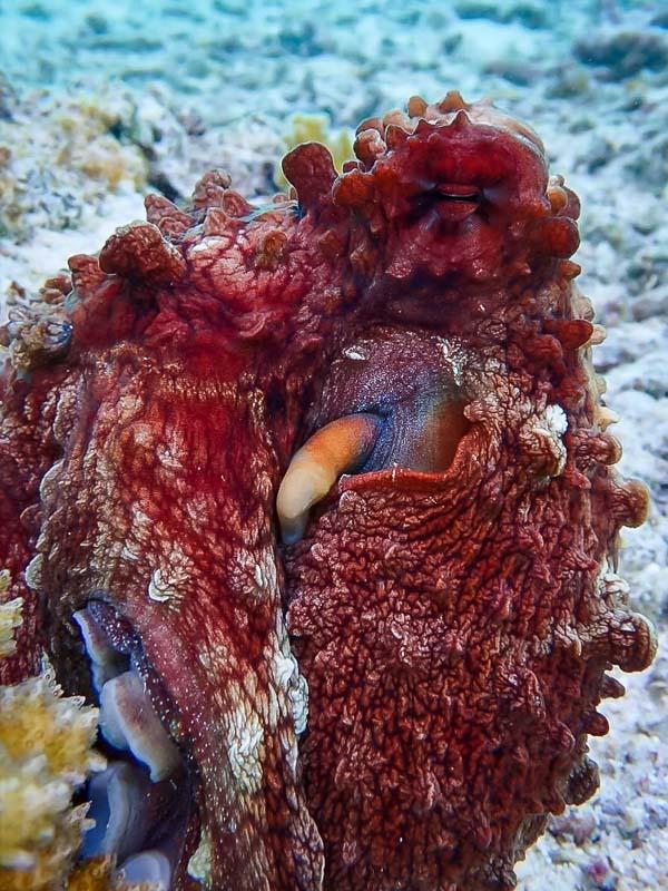 Marine Savers Maldives underwater life octopus