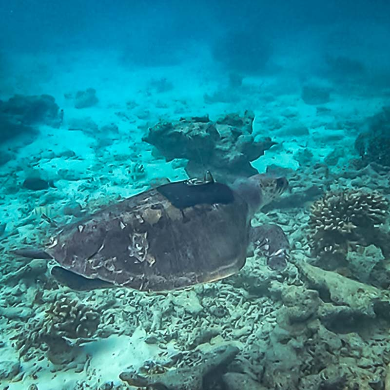 Raai male Olive Ridley turtle released with satellite tag Maldives