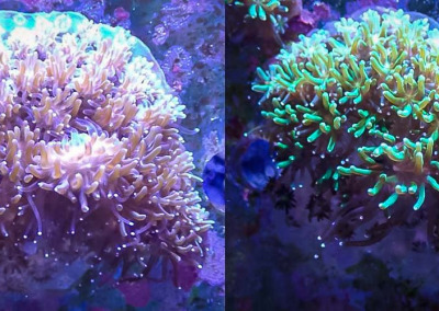 Reefscapers KH06 coral plate Galaxea green and brown