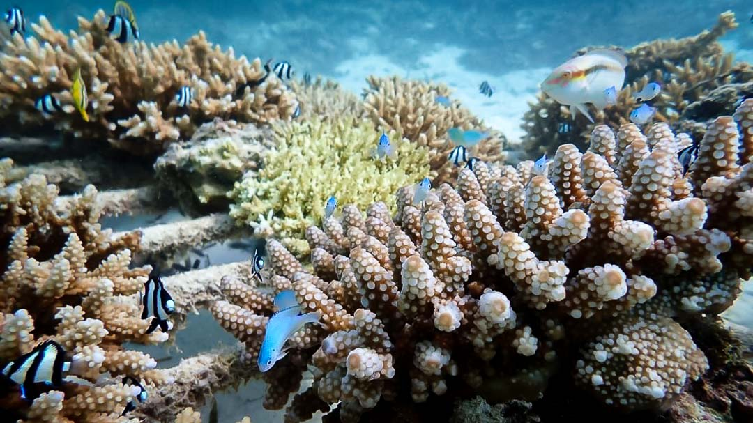 Reefscapers healthy coral propagation colonies Maldives