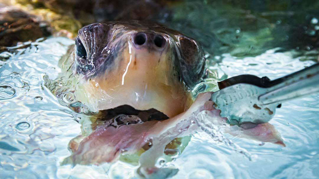 Turtle feeding Marine Savers