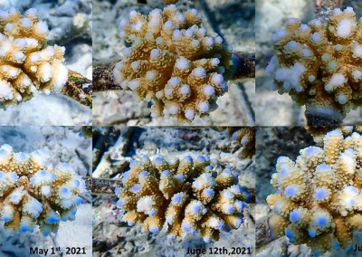 Reefscapers CoralWatch healthy A.hyacinthus (top) and A.digitifera (bottom) Maldives