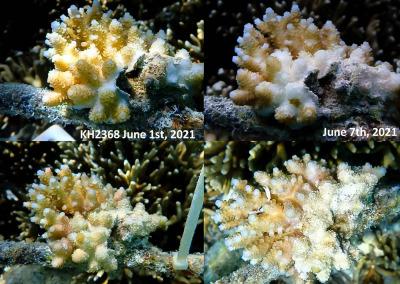 coralwatch Maldives diseased A.hyacinthus