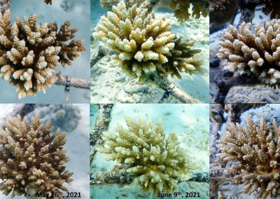 coralwatch Maldives healthy A.tenuis