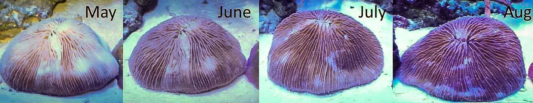 Aquarium-1 mushroom coral recovery bleaching