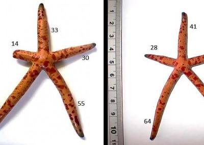 Aquarium-1 sea star regrowth