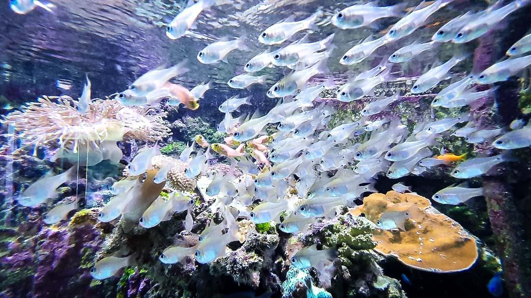 Aquarium cardinal fish Maldives