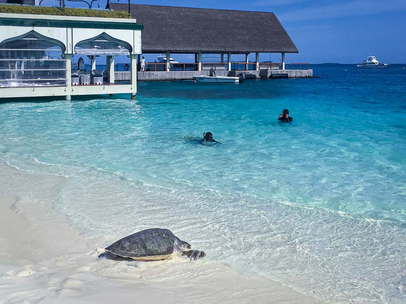 Oevaali stranded Olive Ridley turtle Maldives ghost nets