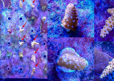Reefscapers plate KH01 new coral fragments
