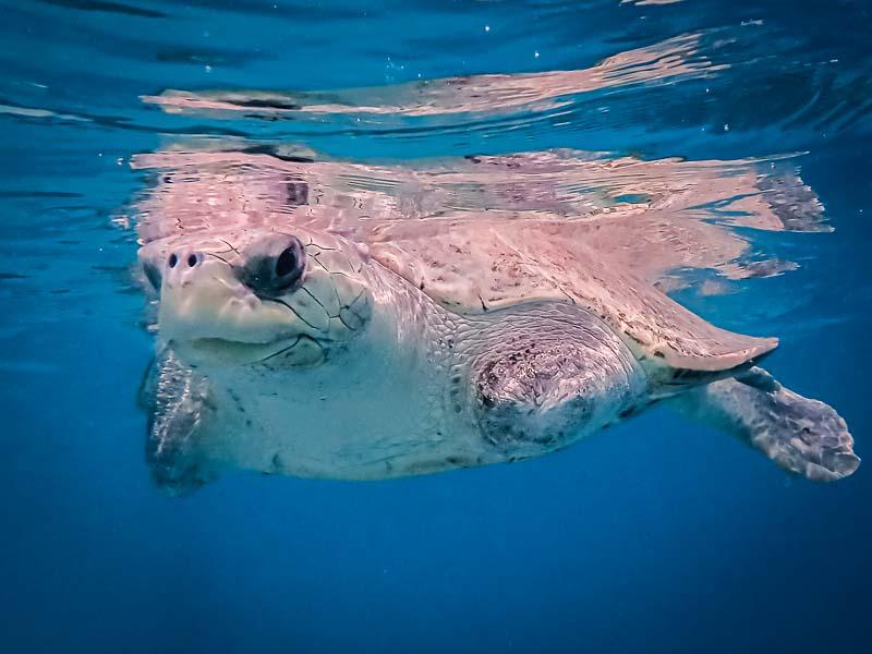 Frisbee turtle rescue rehabilitation centre Maldives